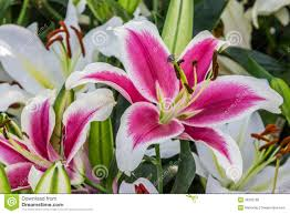 Lilies Flower Pink Lily In Garden Royalty Free Stock Photo Image 36305675
