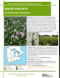 native plant network water hyacinth eichhornia crassipes