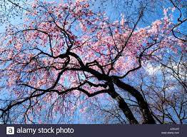 cherry blossom tree cherry blossom tree in nijo castle tokugawa ieyasu shogun honmaru
