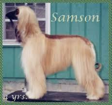 afghan hound therapy dog aaawww afghan hounds alf and scharlau sandcastle ii puppies afghan
