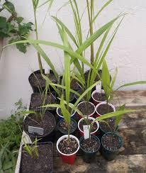 taoyuan world shop green saplings archontophoenix