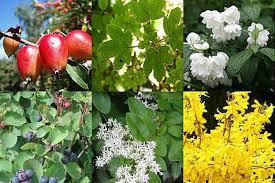 all seasons ornamental hedging ashridge nurseries
