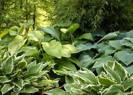 grow shade loving perennials for fine foliage garden club