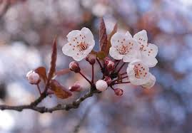 cherry blossom tips gardening pictures care meaning growing