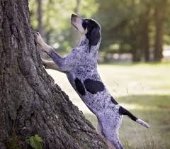 bluetick coonhound smokey bluetick coonhound archives national purebred dog day