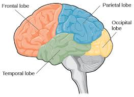 Part Of The Brain Stem That Is Involved In Arousal The Brain And Spinal Cord Introductory Psychology