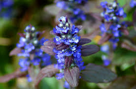 Purple Leaf Peach Tree by Ajuga Ground Cover Bugleweed Plants Too Loud In A Yard