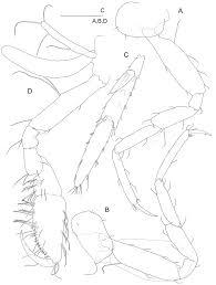 a new marine interstitial psammogammarus crustacea amphipoda