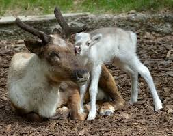 lumi the snow white reindeer born at vienna zoo zooborns