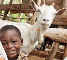 heifer international year celebrate the year of the goat with heifer