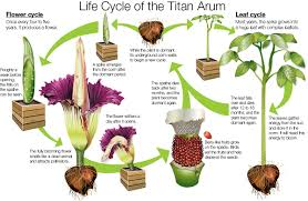 chicago native plants titan arum u2014faq chicago botanic garden