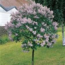 Gardening Zones Canada - canada gem lilac tree jung garden and flower seed company