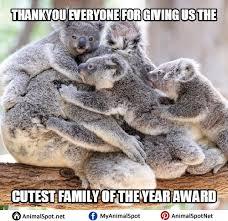 Koala Bear Meme - cute koala memes i love koala bears pinterest animal