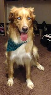 belgian shepherd gumtree 81 best mutts mixes and hybrid dog breeds images on pinterest