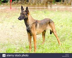 belgian shepherd los angeles military working dogs stock photos u0026 military working dogs stock