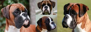 boxer dog york boxer stud dogs show team