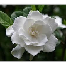 Gardenia Delivery Shop Monrovia 2 6 Quart White First Love Gardenia Flowering Shrub