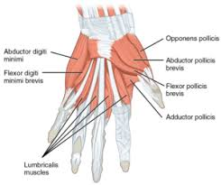 Tendons In The Shoulder Diagram Nerve And Tendon Injuries In The Hand Kc Bone U0026 Joint