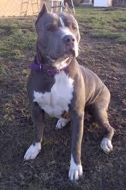 american pitbull terrier info american bandogge mastiff bulldog mastiff cross info