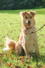belgian sheepdog idaho basque shepherd dog wikipedia