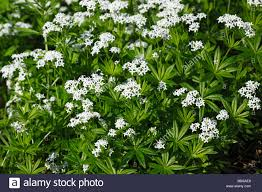 Baby S Breath Flower Flowering Woodruff Plants Sweet Woodruff Wild Baby U0027s Breath