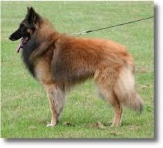 belgian sheepdog breeders uk breeders of health tested belgian shepherd tervuerens in england