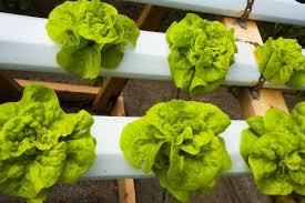 hydroponic lettuce growing grozinegrozine