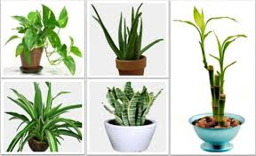 best house plants best house plants for clean air and better health theindianspot