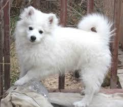 american eskimo dog food american eskimo dog knowledge base lookseek com