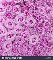 flowers tea roses vertical photograph pink muted colors solid