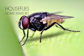 Getting Rid Of Flies In Backyard 16 Home Remedies To Get Rid Of House Flies