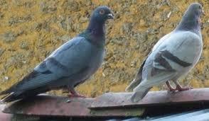 cuisiner une palombe pigeon palombe ramier bizet définition et recettes de pigeon