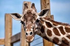 Giraffe Floor L The Psychology Of April The Giraffe Psychology Today