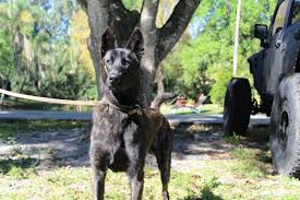 belgian sheepdog florida orlando florida dutch shepherd dog high class k9 protection