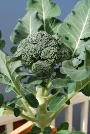 growing broccoli how to grow broccoli planting broccoli