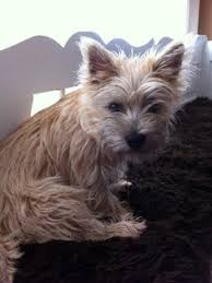 cairn hair cuts happy fearless protective the cairn terrier dog breeds