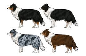 australian shepherd outline how to draw a dog details make the difference