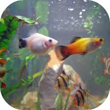 platy my white mickey mouse platy is we flickr