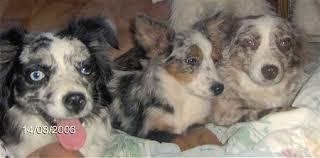 australian shepherd 200 miniature australian shepherd dog breed pictures 1