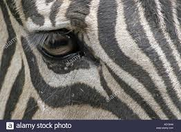 pattern formation zebra animal africa eye organ zebra stock photos animal africa eye organ
