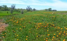 grassland native plants placer land trust doty ravine preserve