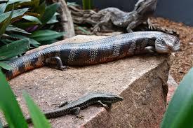 top 28 blue tongue lizard items daxushequ com