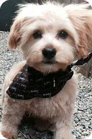 haircutsfordogs poodlemix image result for yorkie cuts with floppy ears yorkie cuts