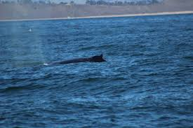 recent sightings santa cruz whale watching by stagnaro charters