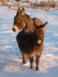 Miniature by Donkeys In North America Wikipedia