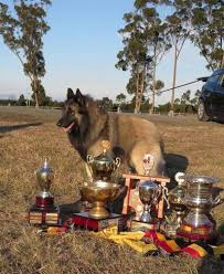 belgian shepherd for sale australia belgian shepherd dogs at lumineux australia groenendael and