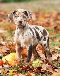 toilettage de l affenpinscher texas puppies shorkie patches jpg 500 453 pets animals