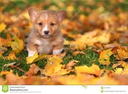 corgi puppy sitting in autumn leaves stock photo image of