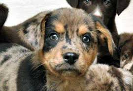 australian shepherd knoxville tn meet puppies desperate for foster homes a petfinder adoptable