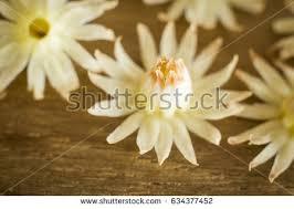 bullet flowers cherry medlar bullet wood flowers stock photo 634377452